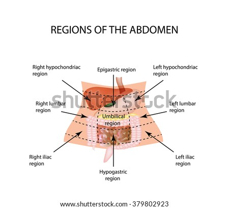 Abdominal Region. The liver, gallbladder, pancreas, stomach, duodenum, intestine, small intestine, large intestine, colon, rectum, apendiks, cecum. Vector illustration on isolated background.  - stock vector