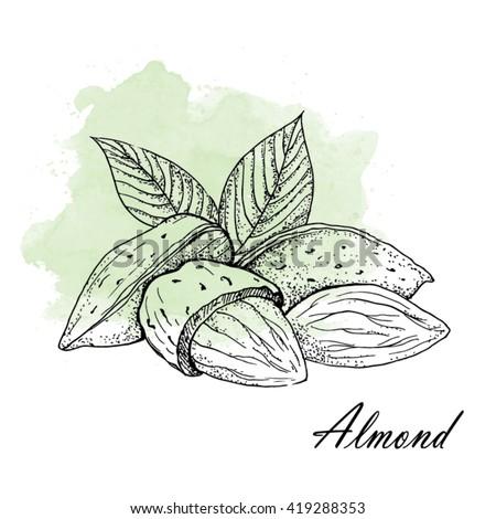 Almond - Vector Illustration. - stock vector
