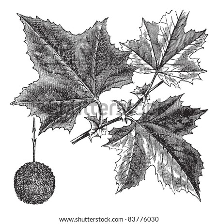 American Sycamore or Platanus occidentalis, vintage engraved illustration. Trousset encyclopedia (1886 - 1891). - stock vector