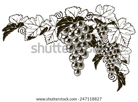 An original illustration of a grapes on a grape vine design element in a vintage style  - stock vector