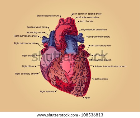 Anatomical heart illustration with text. Vector illustration. - stock vector