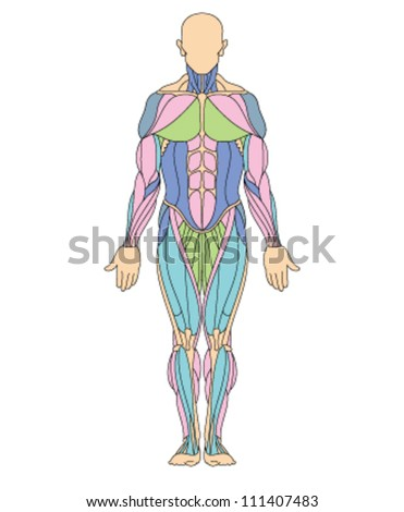 Anatomy illustration of human muscular system with different colors for different muscles - stock vector