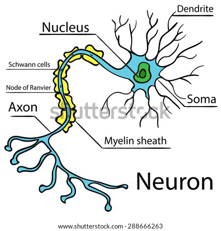 Anatomy of a typical human neuron (axon, synapse, dendrite, mitochondrion,  myelin  sheath, node Ranvier and Schwann cell). Vector diagram Vector 2 - stock vector