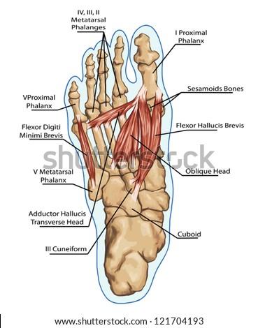 Left Foot Anatomy Bones