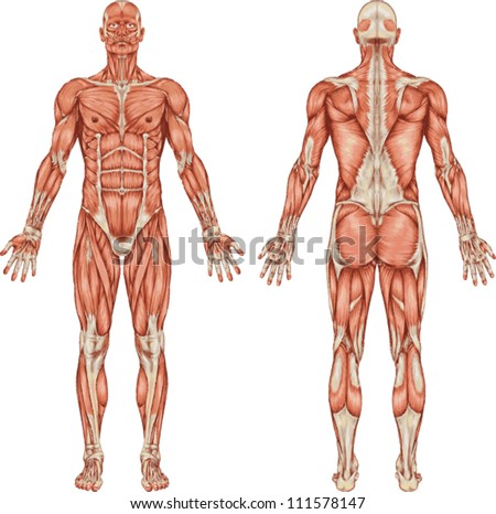 Anatomy of male muscular system - posterior and anterior view - full body - stock vector