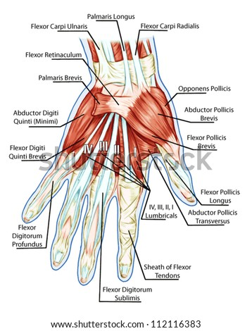 Anatomy of muscular system � hand, palm muscle - tendons, ligaments � educational biological board - stock vector