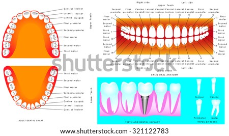 Anatomy of teeth. Adult Teeth anatomy, dental titles. Tooth human implant. Illustration for dentistry and orthodontics, for basic medical education, for clinics & Schools - stock vector