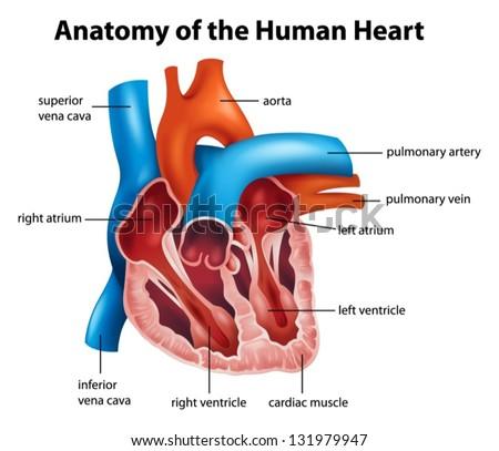 Anatomy of the human heart illustration - stock vector