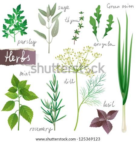 Aromatic herbs set - stock vector