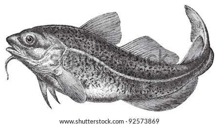 Atlantic cod (Gadus morhua) / vintage illustration from Meyers Konversations-Lexikon 1897 - stock vector