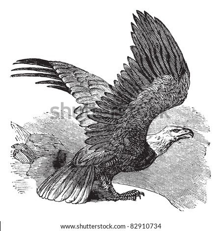 Bald Eagle (Haliaeetus leucocephalus), vintage engraved illustration. Bald eagle in flight. Trousset encyclopedia (1886 - 1891). - stock vector