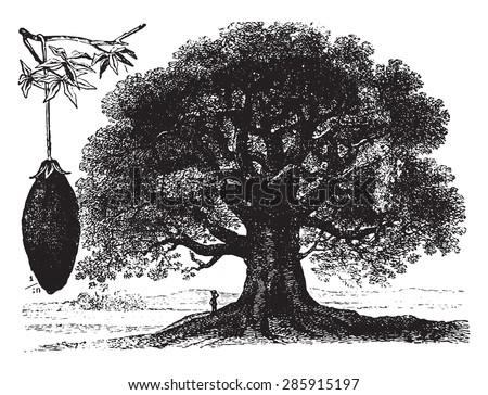 Baobab, vintage engraved illustration. La Vie dans la nature, 1890. - stock vector