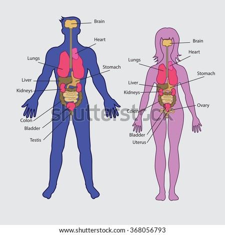 Basic human internal organs vector - stock vector