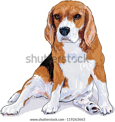 Beagle is sitting that look like she waiting something and now she look fat - stock vector