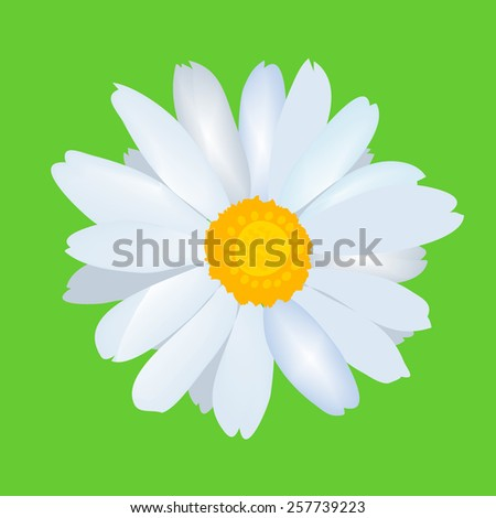 Beautiful daisy flower camomile. Vector - stock vector