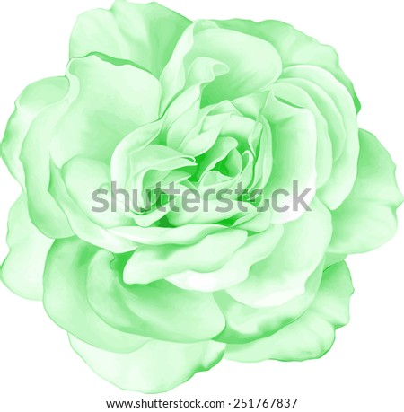 Beautiful light green Rose Flower isolated on white background. Vector illustration - stock vector