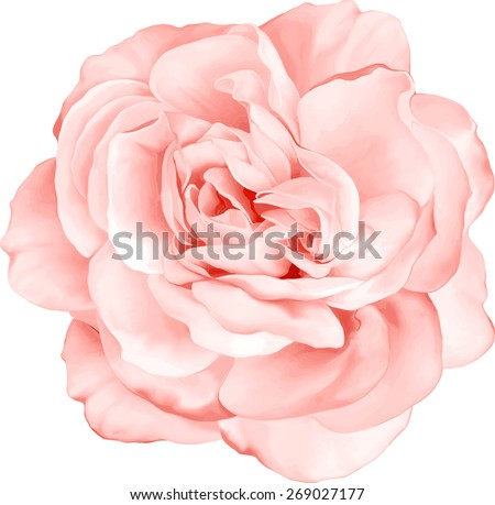 Beautiful Light red Rose Flower isolated on white background. Vector illustration - stock vector