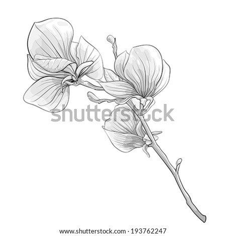 beautiful monochrome, black and white twig blossoming magnolia tree. flower isolated. Hand-drawn contour lines and strokes. - stock vector