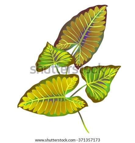 "beautiful vector illustrations of ""elephant's ear"" leaves - a tropical leaf with heart shape. botanical elements for design, for fashion, books, cards. Vibrant plants with veins. - stock vector"