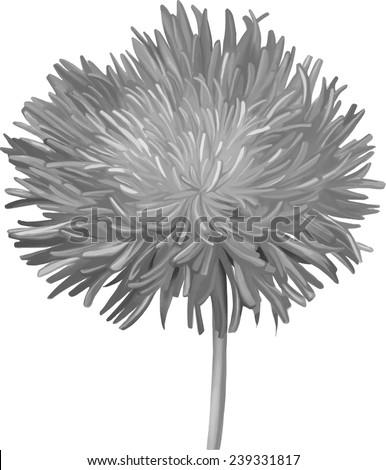 Black and white Thistle flower, aster flower, Illustration isolated on white - stock vector