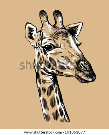 Black and white vector line drawing of a Giraffe's face - stock vector