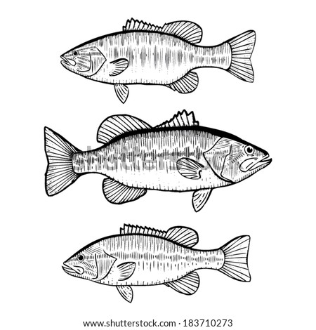 Black Bass - Hand Drawn Illustration of the Large Mouth, Small Mouth and Spotted Bass - stock vector