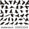black isolated vector silhouettes of carrion crow on the white background - stock vector