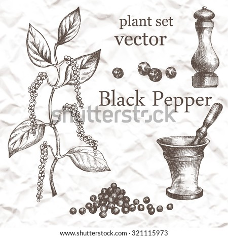 Black Pepper plant set. Hand drawn illustration on grange background. - stock vector