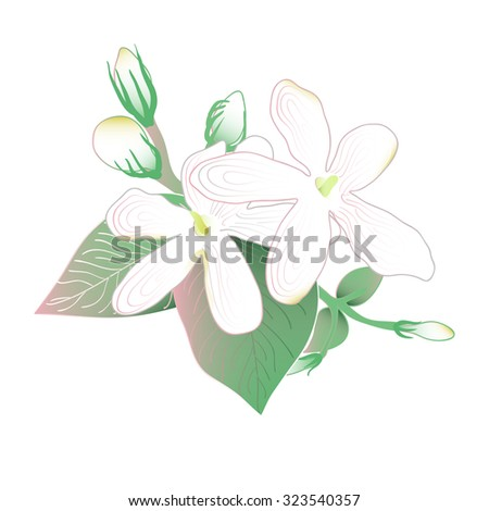 Blooming and budding Jasmine flowers - stock vector