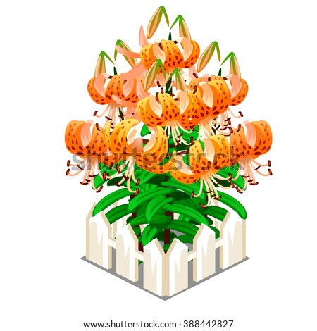 Blooming Lilium lancifolium behind the wooden fence. Vector illustration. - stock vector