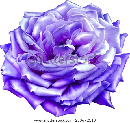 blue Pink Rose Flower, Sexy and beautiful and rose bud isolated on white background. Vector illustration - stock vector