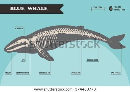 Blue whale skeleton. - stock vector