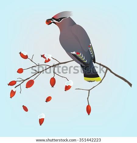 Bohemian waxwing bird on a branch of a wild rose  - stock vector