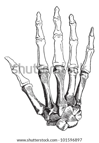 Bones of a Human Hand (dorsal side), showing (bottom to top) Carpals, Metacarpals, Proximal Phalanges, Intermediate Phalanges, and Distal Phalanges. Dictionary of Words and Things - 1895 - stock vector