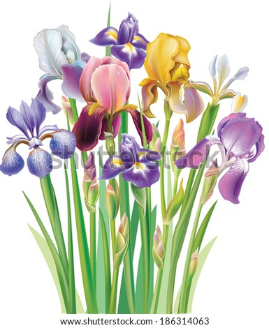 Bouquet of Iris flowers - stock vector
