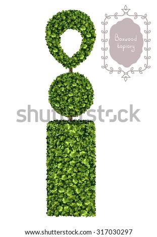 Boxwood topiary, garden plant, vector background. English boxwood, evergreen dwarf shrubs. Shrub for landscape. - stock vector