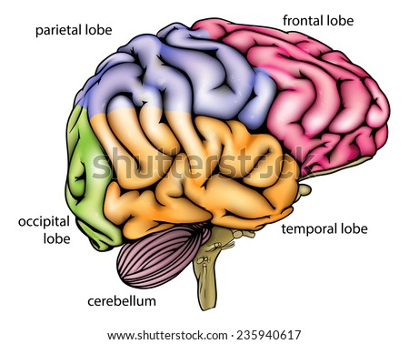 Brain anatomy diagram with sectioned in different colours and named  - stock vector