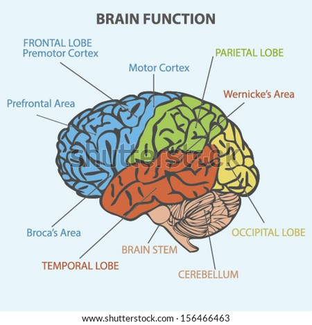 28 Brain Function Diagram The Brain Structure And