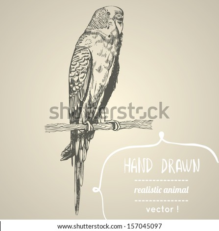 Budgerigar. Hand drawn vector illustration. Can be used separately from your design. - stock vector