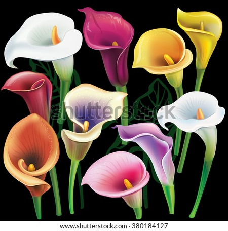 Calla flowers set in different colors - stock vector
