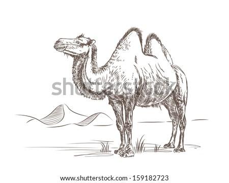 Camel - stock vector