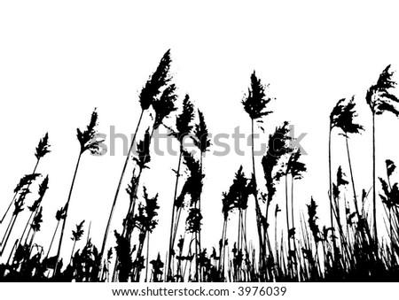 Cane field against white (vector, illustration) - stock vector