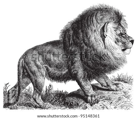 Cape Lion (Panthera leo melanochaitus) / vintage illustration from Meyers Konversations-Lexikon 1897 - stock vector