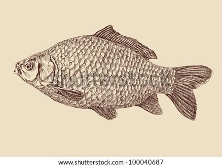 carp fish  drawing vector illustration - stock vector