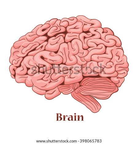 Cartoon brain isolated on a white background. Vector illustration of the human body - stock vector