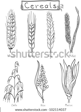 Cereals hand-drawn illustration - wheat, barley, rye, millet, oat, rice, maize - stock vector