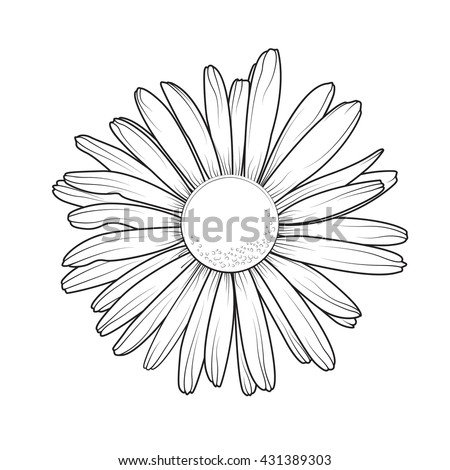 Chamomile daisy close up top view. Loves me loves me not flower. Isolated botanical floral design element. - stock vector