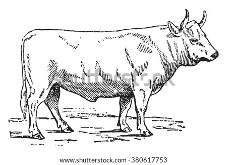 Charolais ox, vintage engraved illustration. Dictionary of words and things - Larive and Fleury - 1895. - stock vector