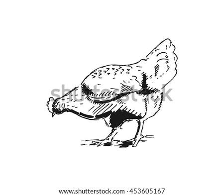 Chicken bird engraved hand drawn illustration - stock vector