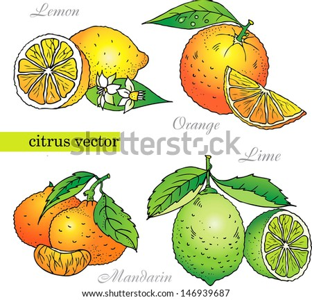 Citrus vector set from orange, lemon, lime, mandarin - stock vector